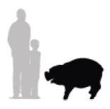 standing pig2