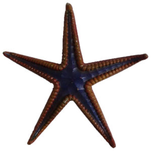 royal-starfish-1